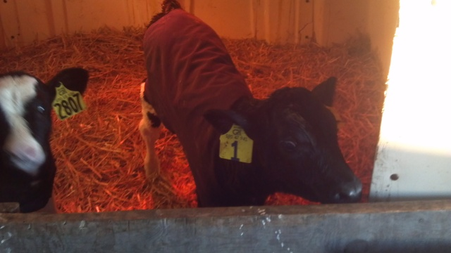 2 day old calf with a coat