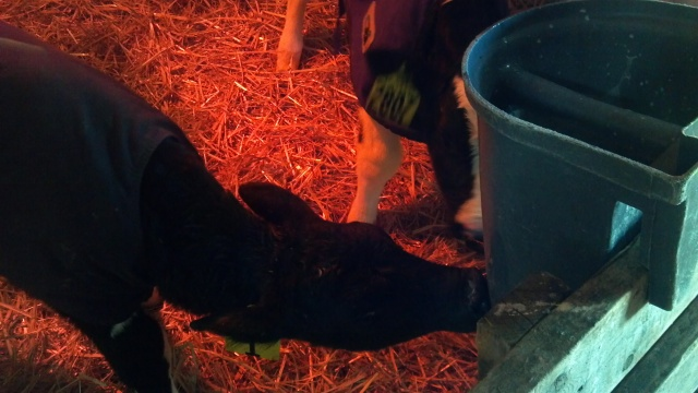 calves learning to drink