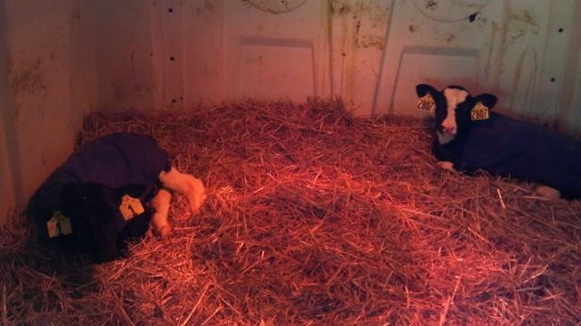 young calfs in a hutch