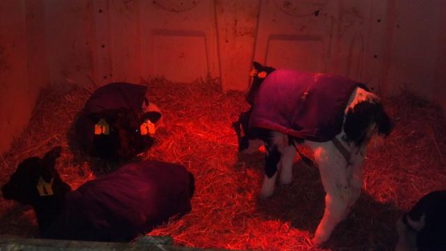 new calves in a hutch