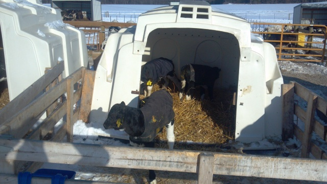 young calf in hutch with corral