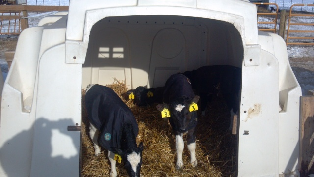 new calves in a calf hutch with wheat straw