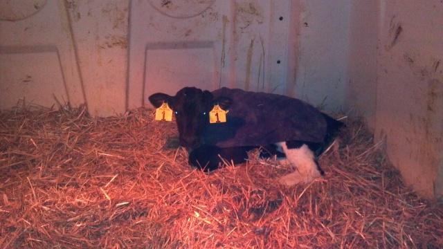 calf in a hutch