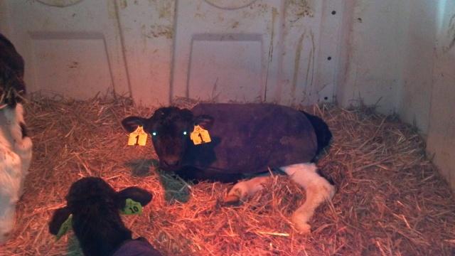 sick calf in a hutch