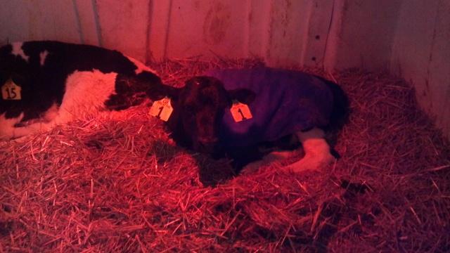 first lady in a calf hutch