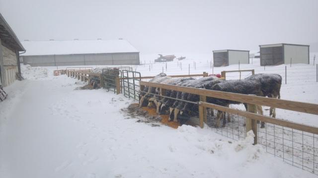calves in a snow storm