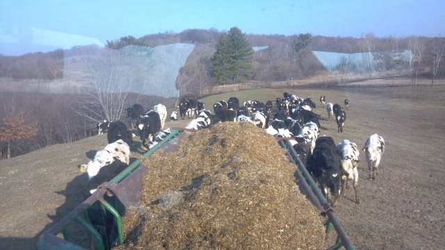 heifers chasing a feed wagon