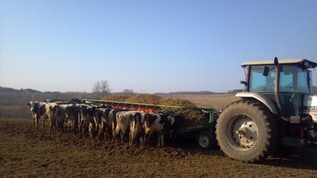 heifers around a feed wagon
