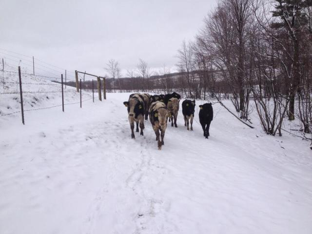 cattle being led
