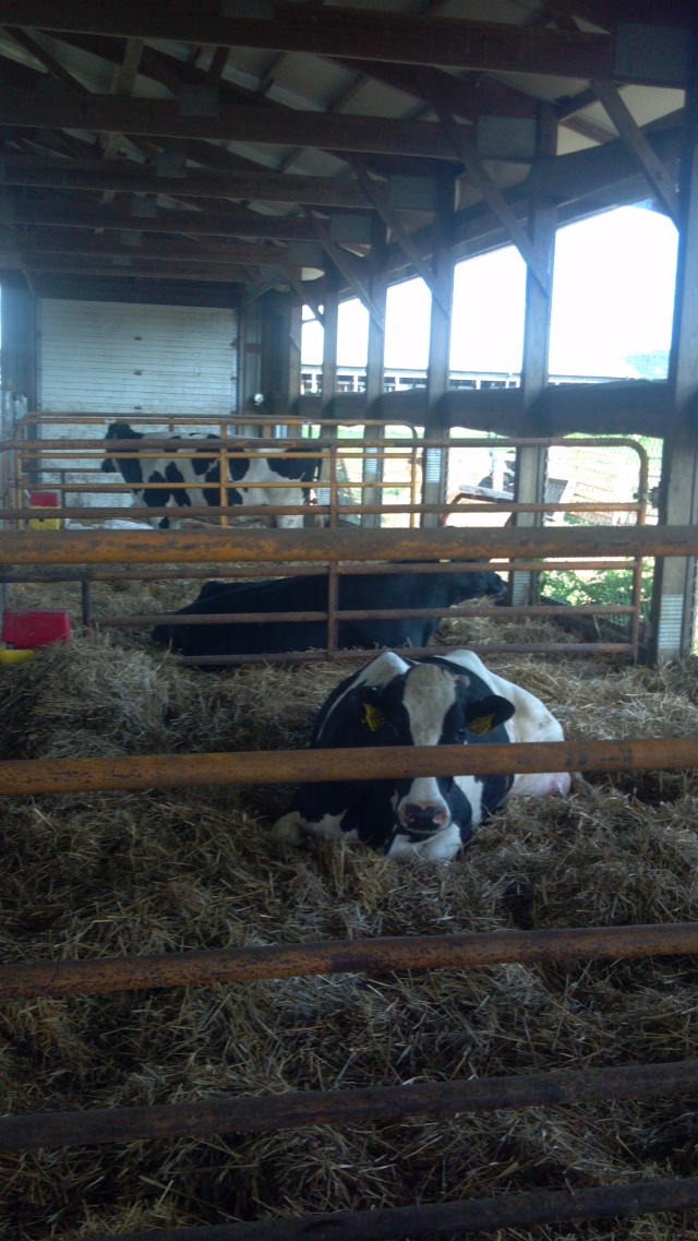 Cows in the calving pens