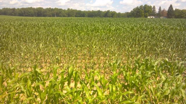 corn showing drought stress