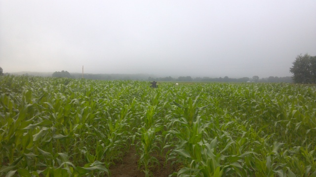 cow in a corn field