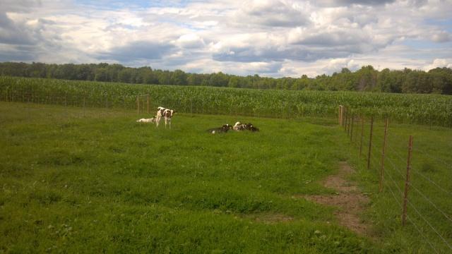 calves in a pasture