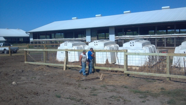 building calf fence