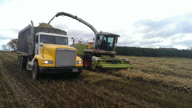 claas 900 chopping sorgum sudan grass