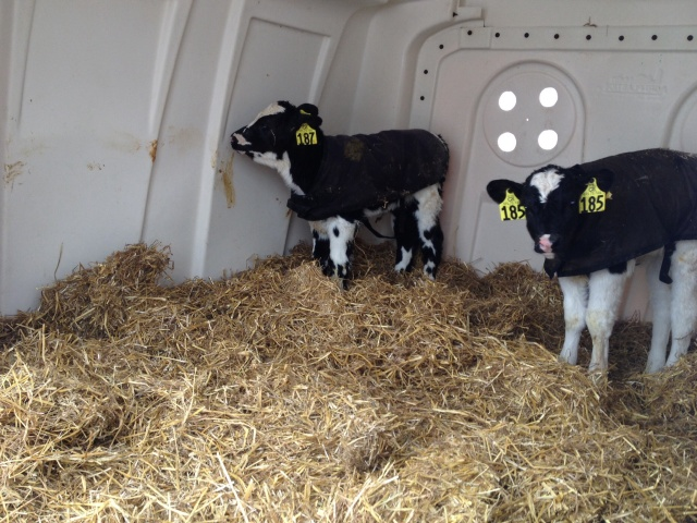 Calf coats and lots of dry fluffy wheat straw help our calves battle the cold