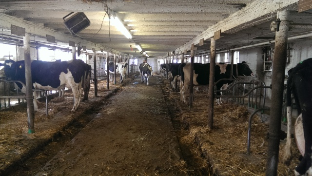 cows in tie stall barn