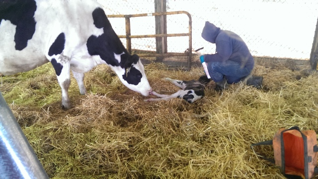 resuscitating a new born calf