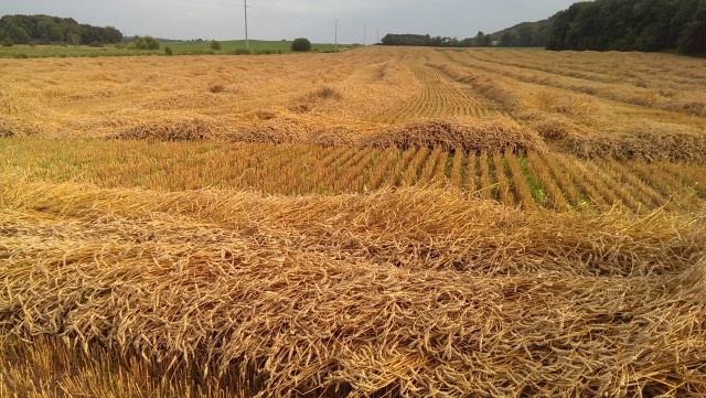 swathed wheat