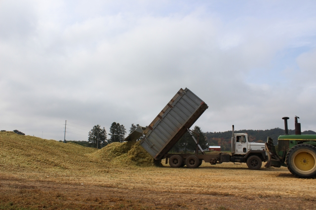 dumping corn silage on pile