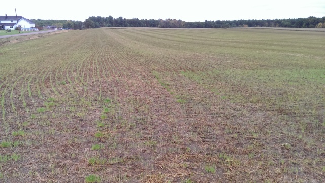winter wheat in hay stubble