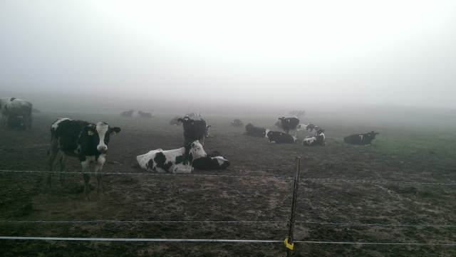 young stock in fog